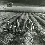 Jordgubbsplockning, Åkern, Bergsjö, 9 september 1955.