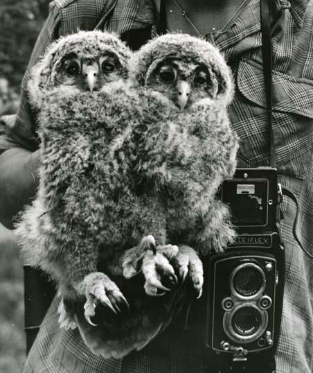 M  2 045: Börje med Rolleiflexkamera och ungar av slaguggla, Strix uralensis, 1958.