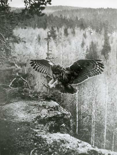 Foto:HM_M  2 146: Berguven(Bubo Bubo) landar, våren 1952. Även förlaga till frimärke