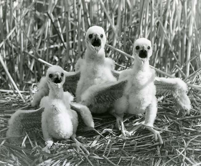 Foto: HM_M  2 186: Bruna kärrhökens ungar, 1951