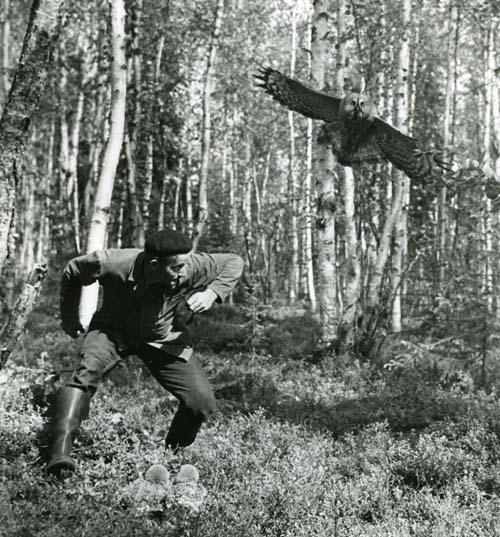 M  2 426: Ringmärkning med förhinder. Jätteugglan (lappuggla)anfaller då Erik L. letar ur boet nerhoppade ungar för märkning,18/6 1960.