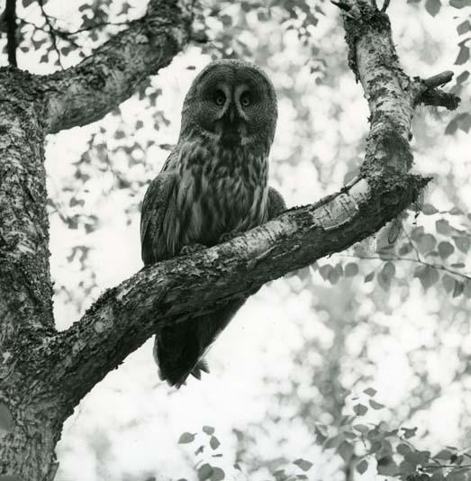 Foto:HM_M  2 430: Lappuggla i träd, 18/6 1960