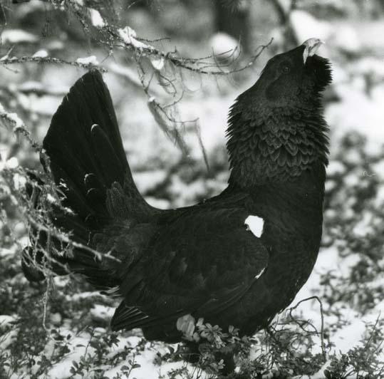 Foto:HM_M  3 705: Spelande tjäder (hos Albert Viksten vid Ängratörn), 1958.