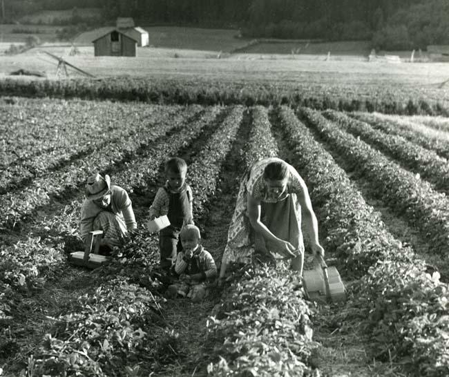 10 857 Jordgubbsplockning. Åkern, Bergsjö, 9/9 1955. Foto: Hilding Mickelsson