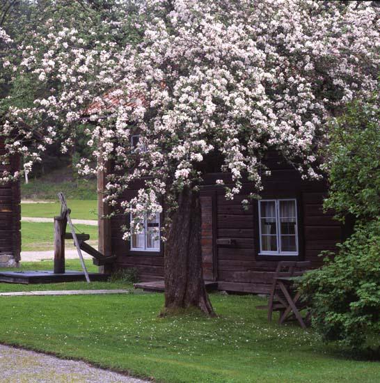 46 646: Rengsjö Hembygdsby i äppelblomningens tid,  Foto: Hilding Mickelsson