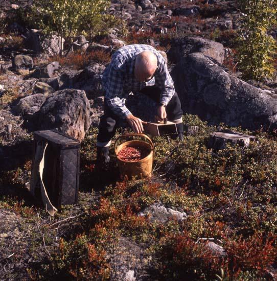 43271 Lingonplockning Foto:Hilding Mickelsson