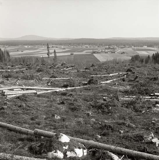 Hygge efter första avverkningen, på norra delen av Bengt-Ols skifte, Skogsberget, maj 1970. Foto Hilding Mickelsson