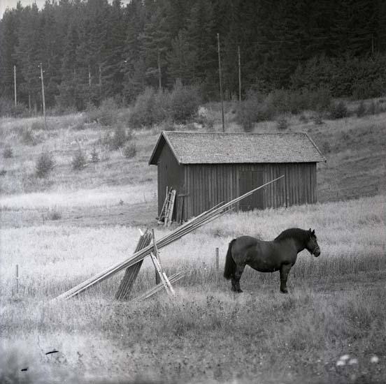 M 65295  Östlunds häst, söder om Bullerberget, byn Byn juni -63 Foto: Hilding Mickelsson