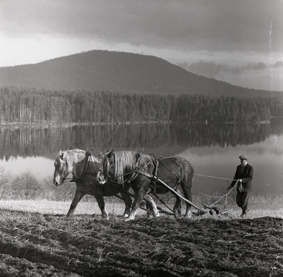 M 65471  Anders Berglund i Västra Höle plöjer med två hästar. Hölesjön och Höleklack i bakgrunden. 22 okt -57  Foto:Hilding Mickelsson