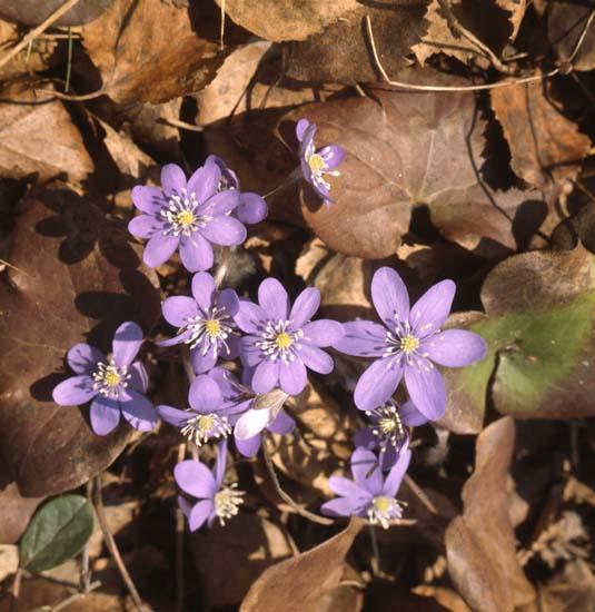 M 41 905: Blåsippa (Anemone hepatica) foto: Hilding Mickelsson