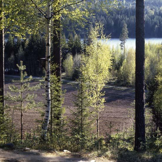 M 45 841: Vårbjörkar och väg vid Gålsjön 26/5 1987.Foto: Hilding Mickelsson