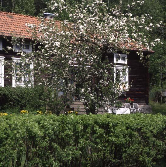 M 54 197: Erik Wbgs och äppelblom. Foto:Hilding Mickelsson