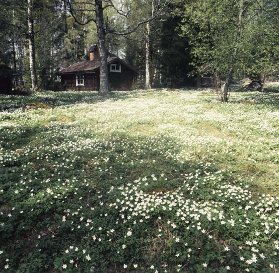 M 55 614: Vitsippor Hbbyn, Rengsjö, maj 1986. Foto:HIlding Mickelsson