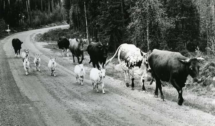 M 10 735: Sidskogen, Järvsö - Ovanåker, 1969. Foto Hilding Mickelsson