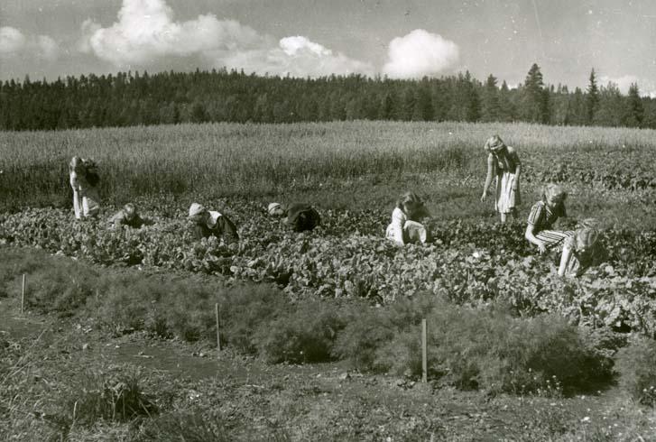 M 8617:Vid den gemensamma klubbodlingen i den lilla hälsingska skogsbyn. Inget årtal. Foto: Hilding Mickelsson