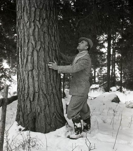 M 75 548: Helge Törnros vid grov tall i Hög 25/3 -52. Foto: Hilding Mickelsson