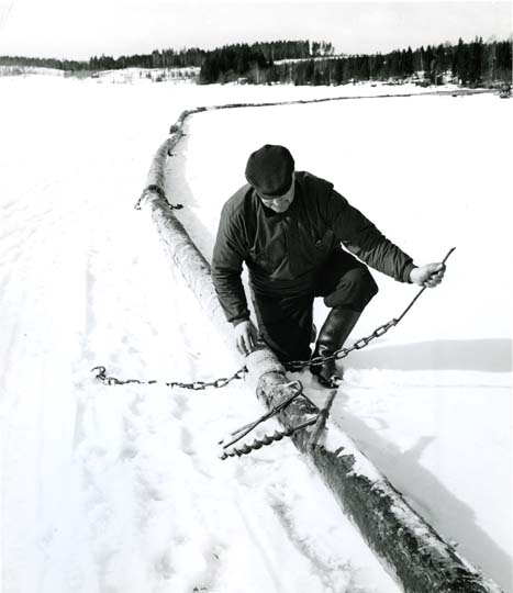 M 7898: Timmerbommen - grimman - läggs ut redan om vintern, Bergsjö 1967. Foto: Hilding Mickelsson