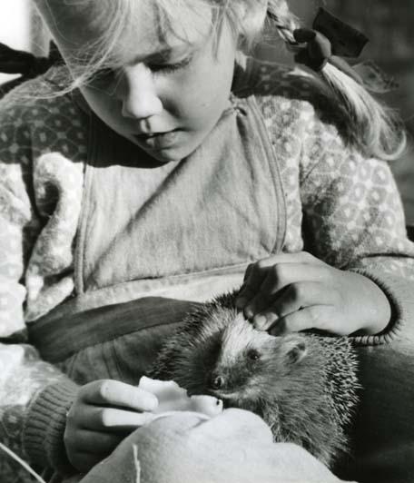 M 4 972:Karin Yvonne och den tama igelkotten, 25/9 1959 Foto: Hilding Mickelsson