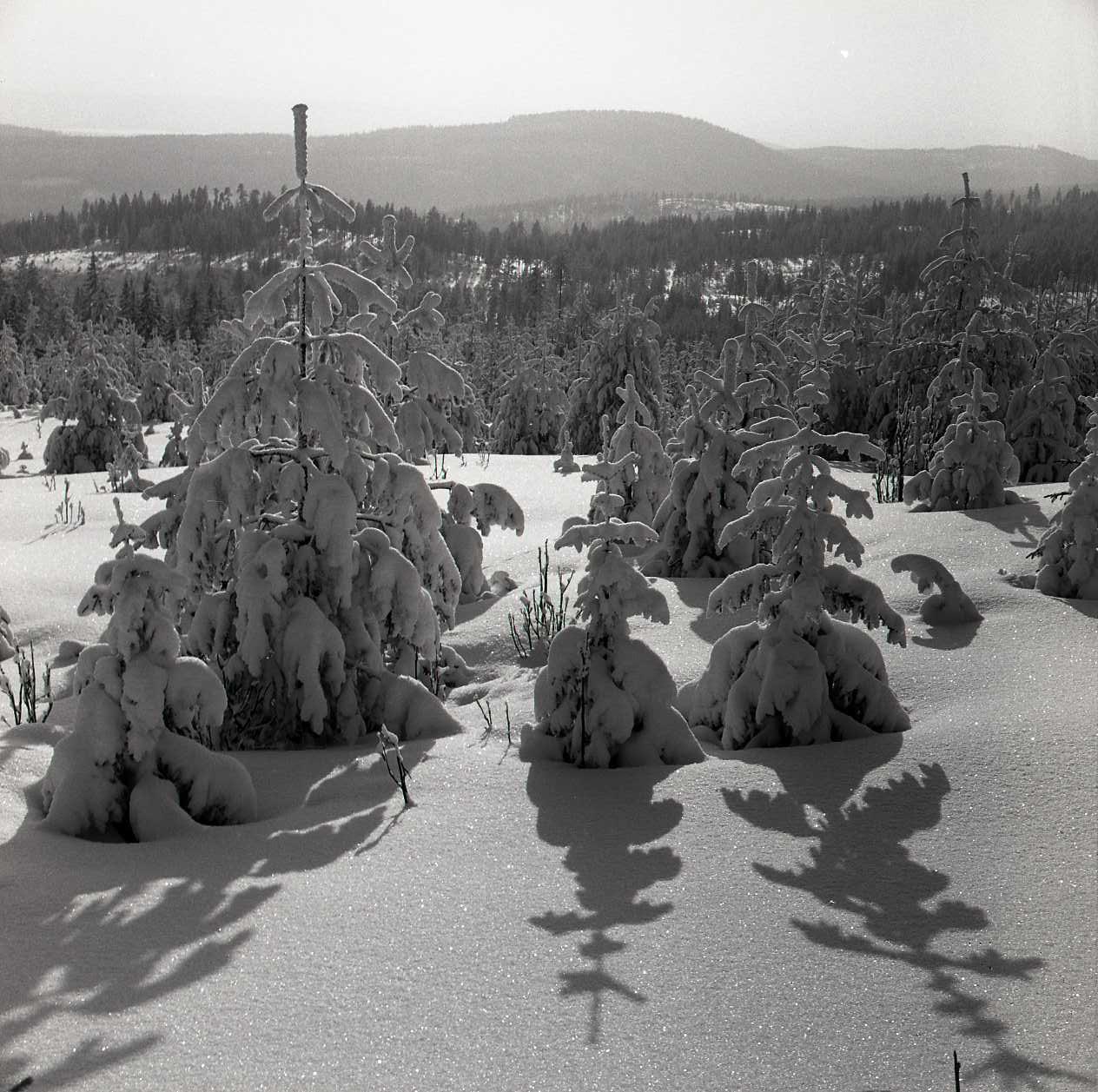 M 106 810: Mycket snö på granar, Skogberget med Gunnar Utegår´n, 22 februari 1960. Foto: Hilding Mickelsson©