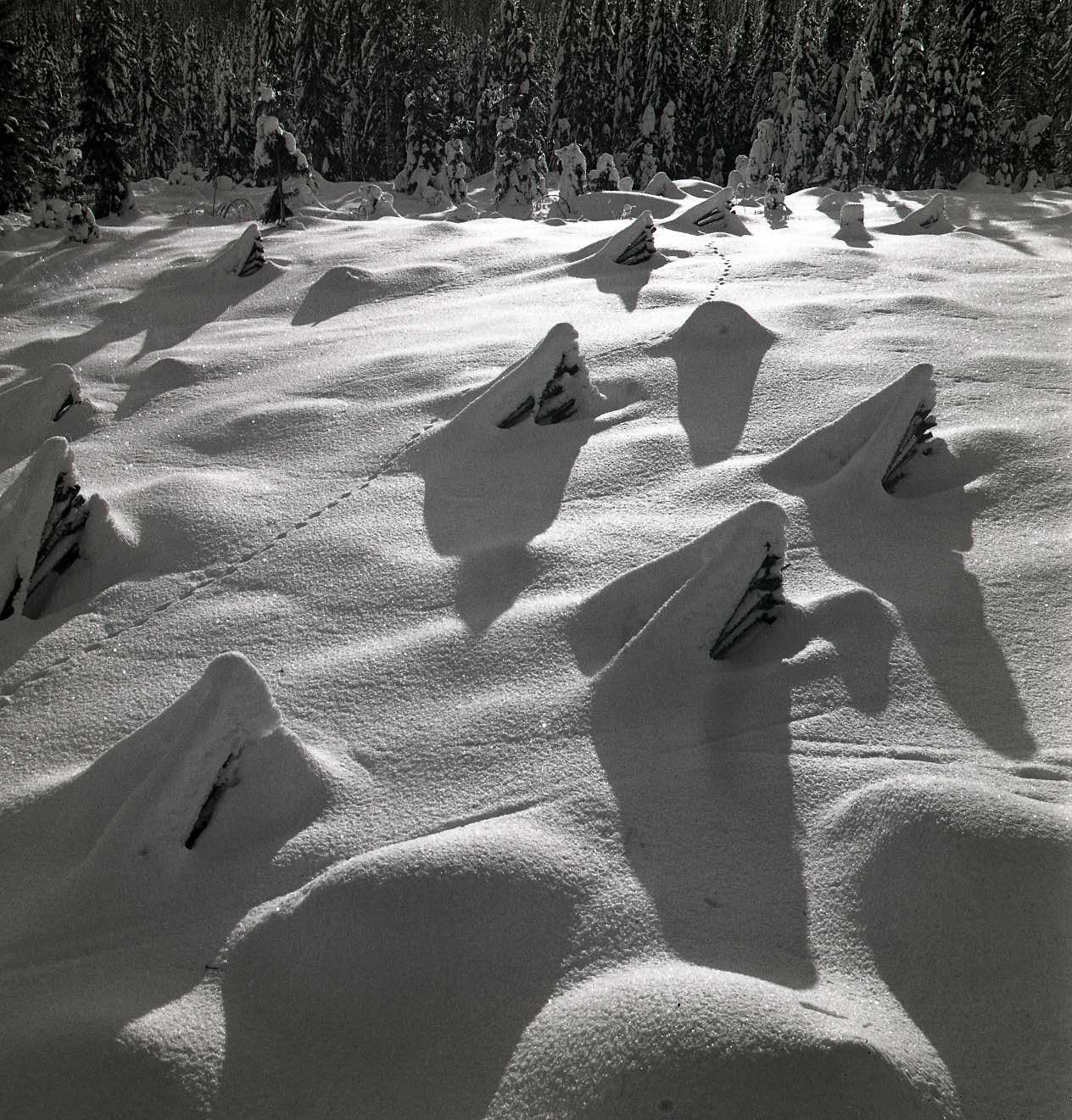 M 106 936: Kolvedres i snö, Skogberget, januari 1948. Foto: Hilding Mickelsson©
