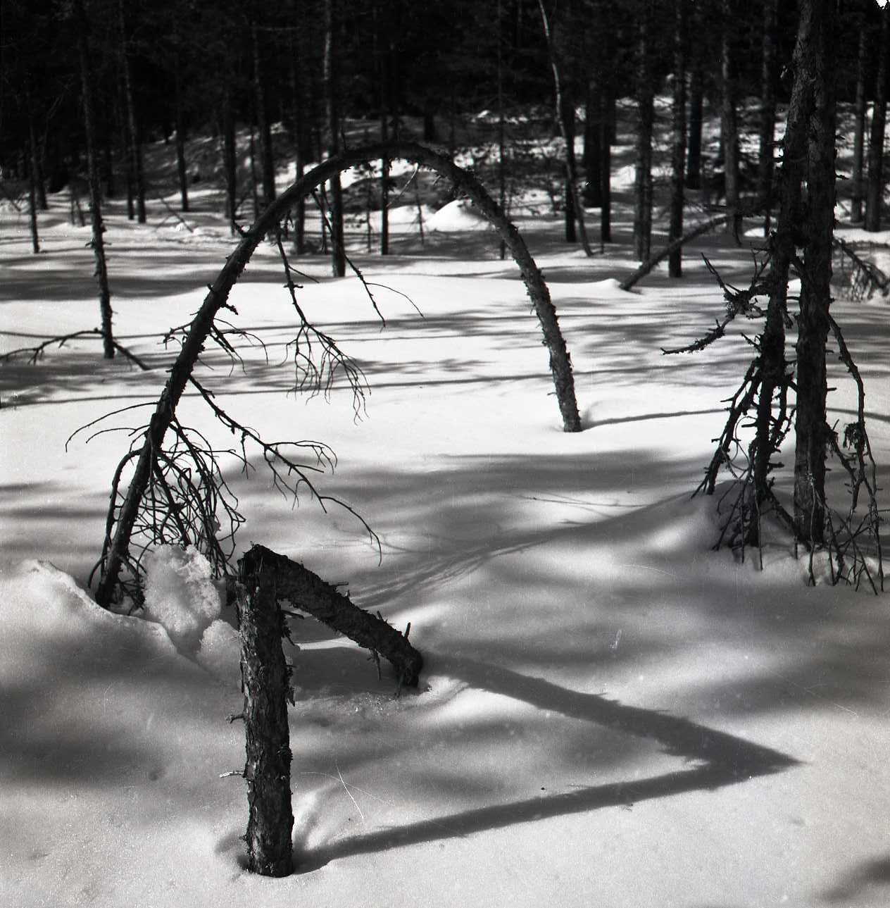 M 106 965: Snöbåge på heden, mars 1951. Foto: Hilding Mickelsson©