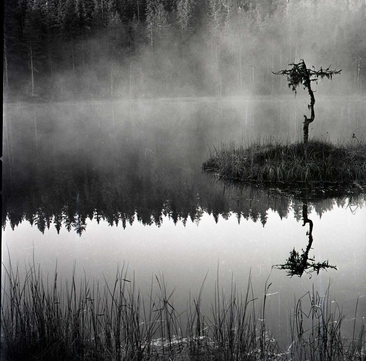M 107 502: Tall på tuva, Alfta södra finnskog, 1962. Foto: Hilding Mickelsson©