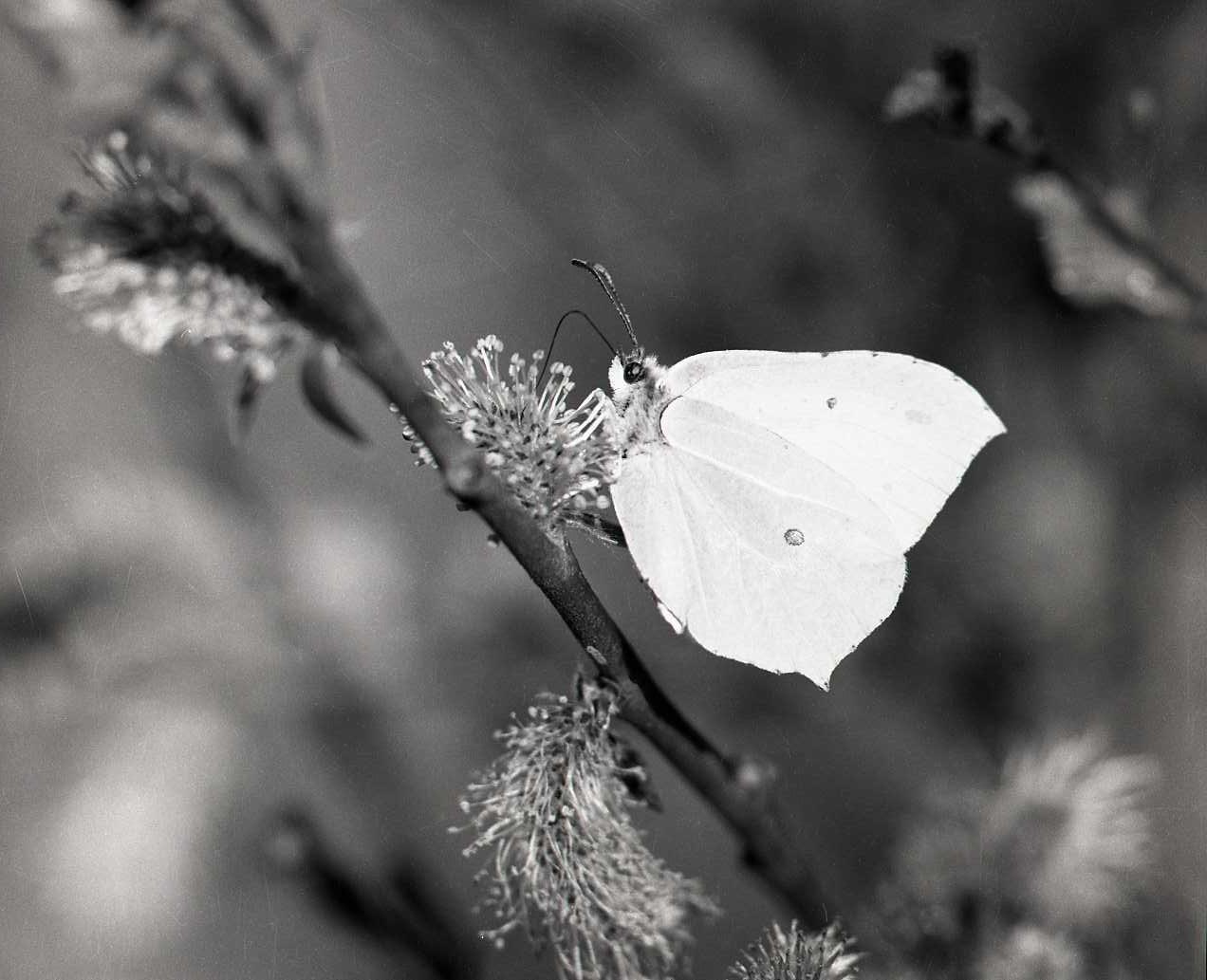 M 116 245: Fjäril på sälgblomma, troligen 1956. Foto: Hilding Mickelsson