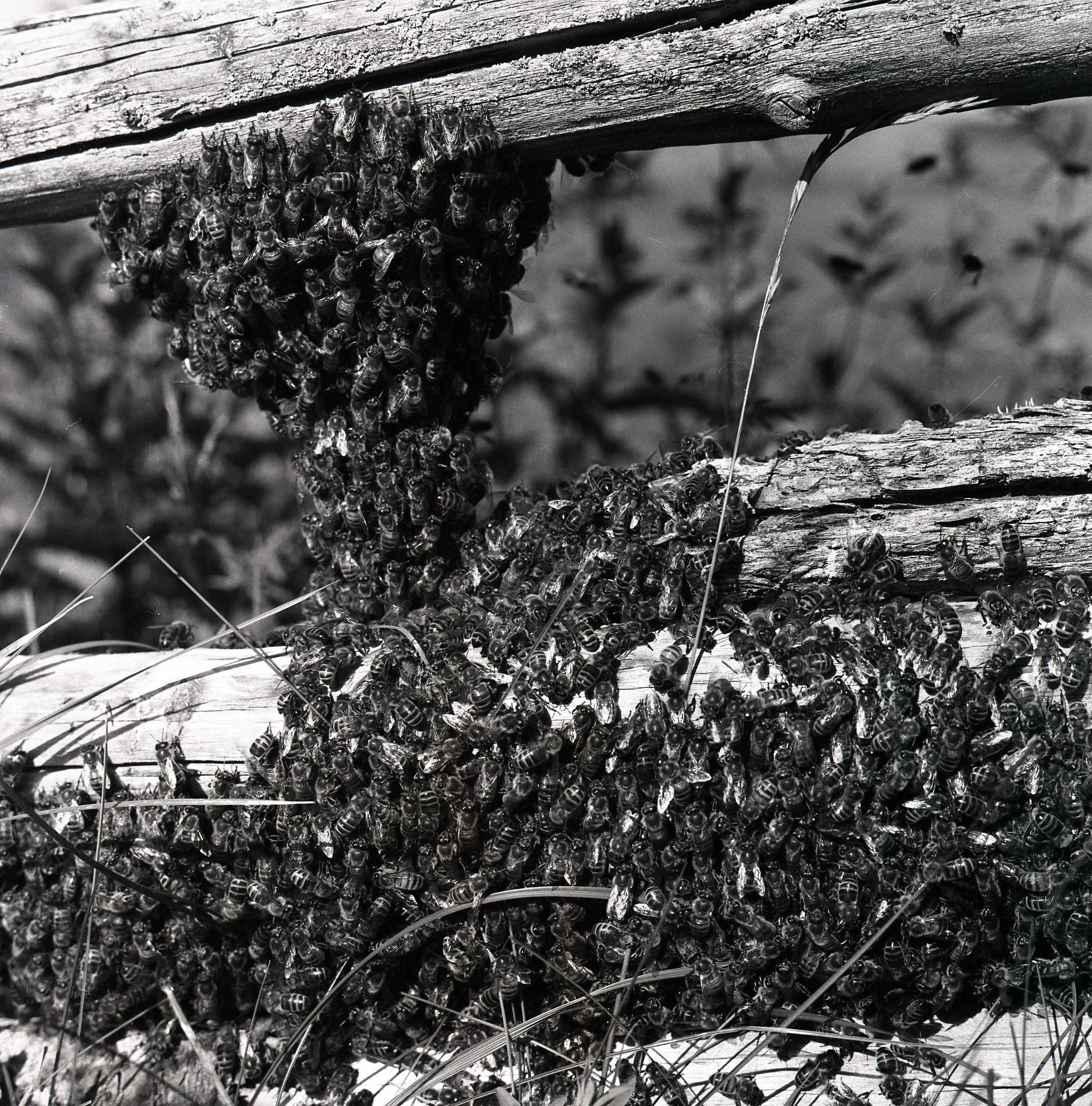 M 115 881: Bisvärm, flygsvärmande, 10 juli 1955. Foto: Hilding Mickelsson©