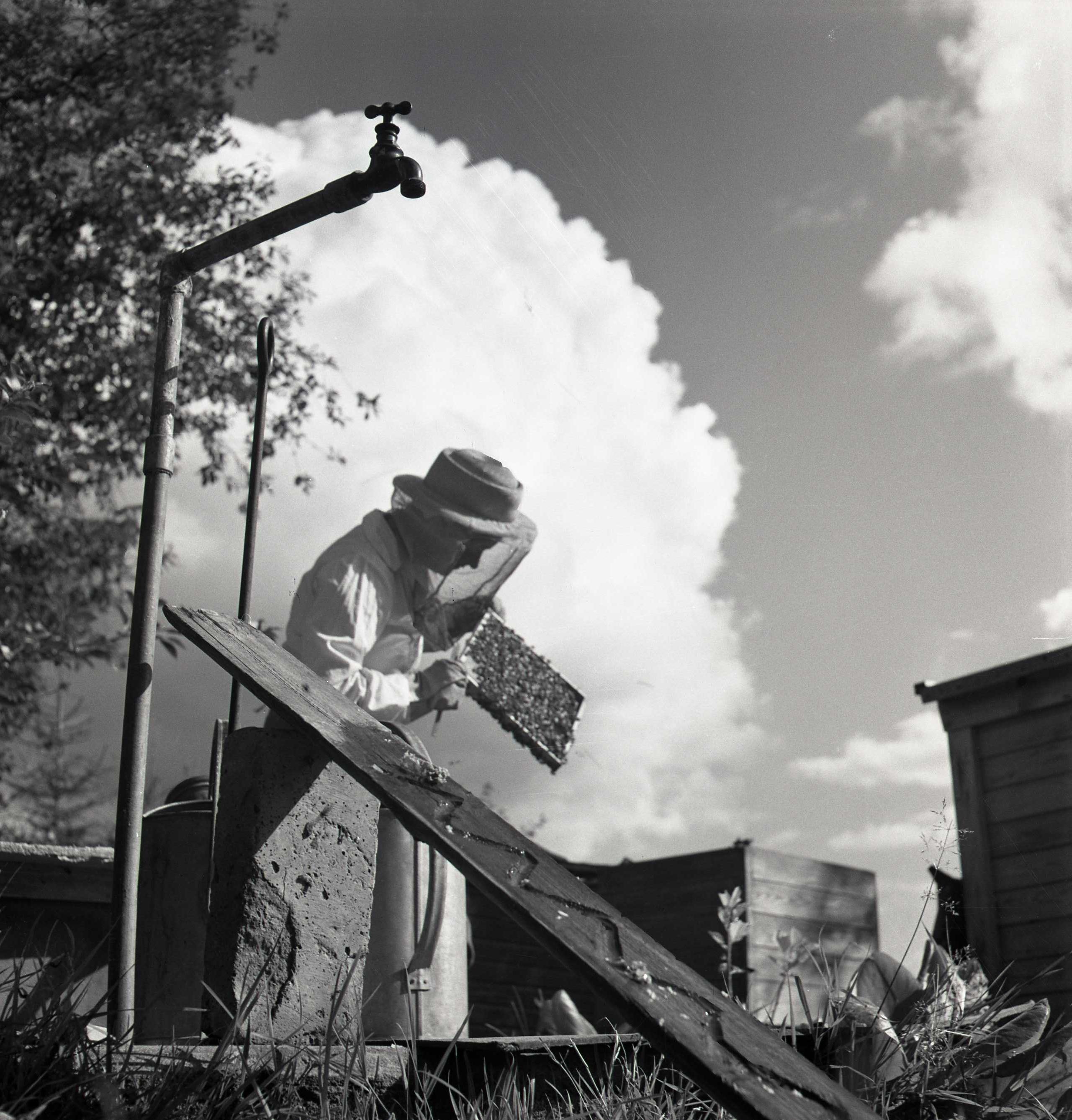 M 115 943: Kvinna i Arbrå sköter bina augusti 1950. Foto: Hilding Mickelsson©