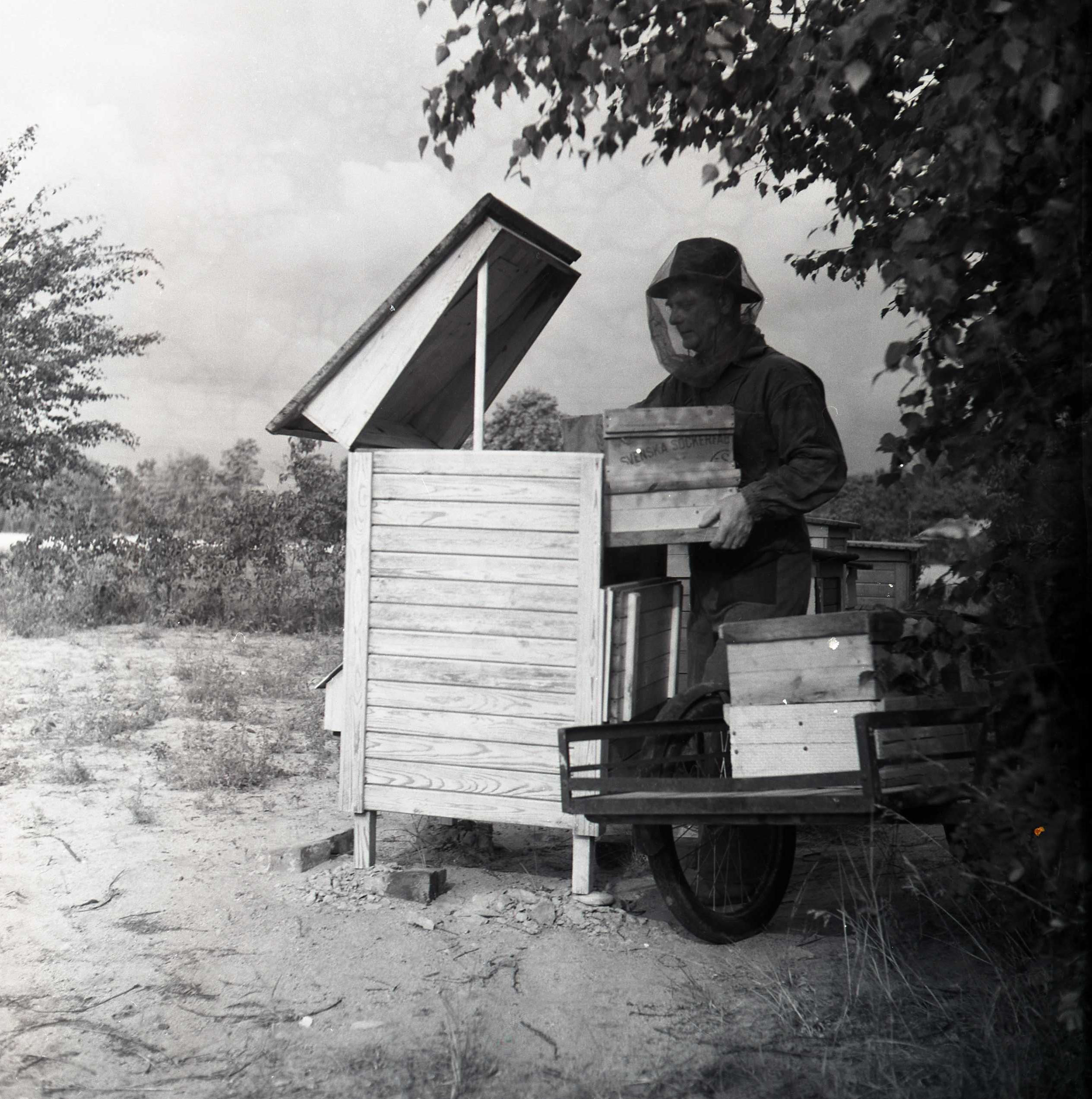 M 115 962: Man i Årsunda vid bikupa, 1950. Foto: Hilding Mickelsson©