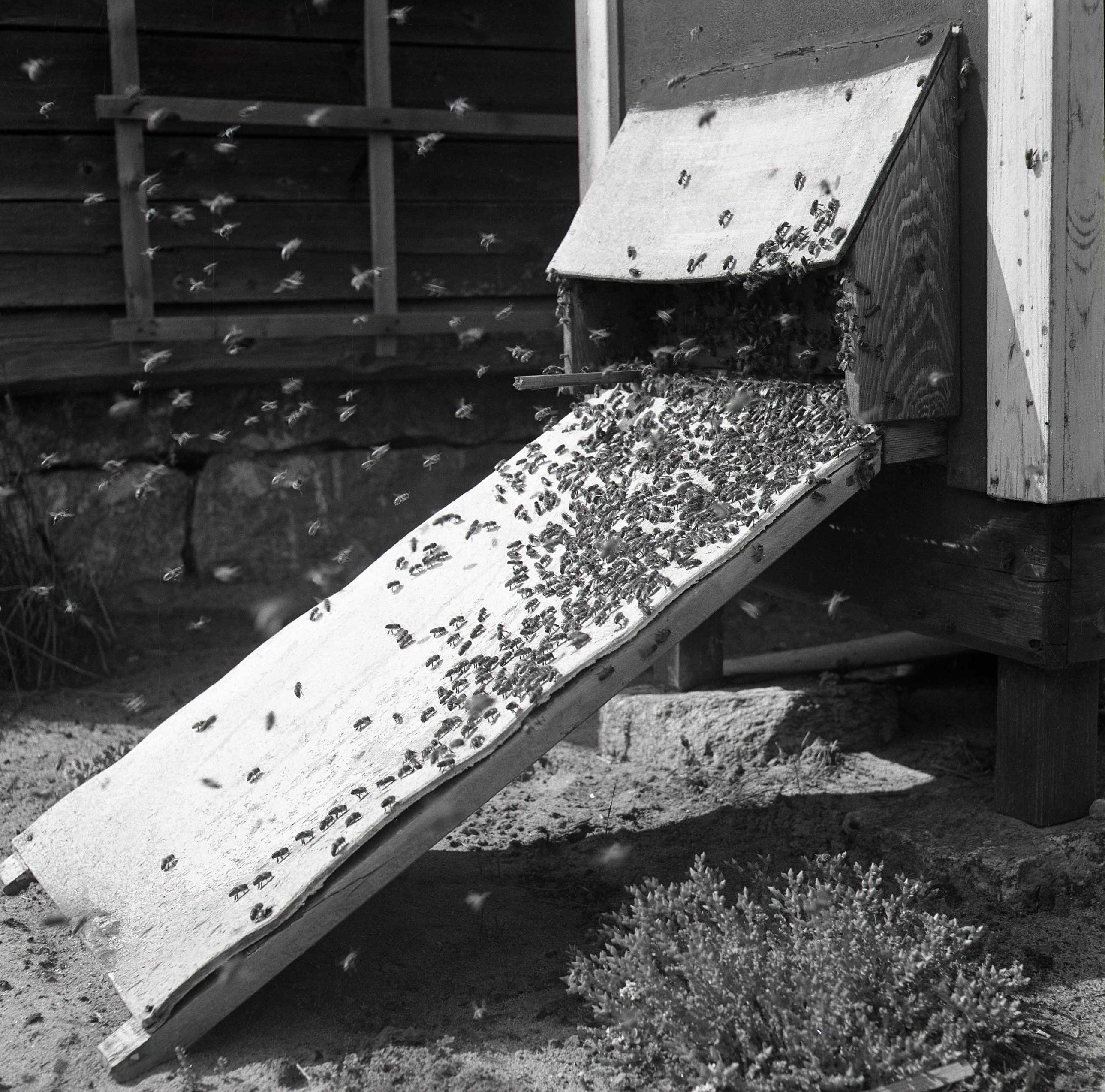 M 115 880: Bisvärm 10 juli 1955. Foto: Hilding Mickelsson©